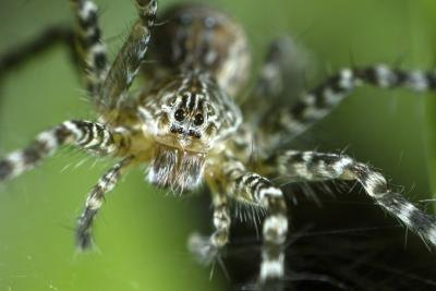A close-up of a wolf spider in a web.