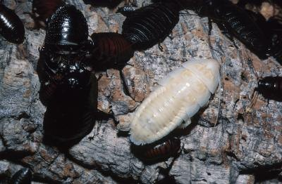 Maggots are used to treat bacterial infections in humans.