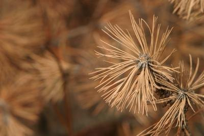 Close up of dry pine needles.
