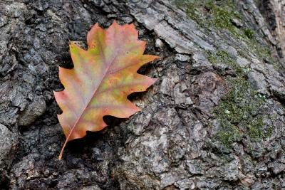 Red oak leaf against a tree bark