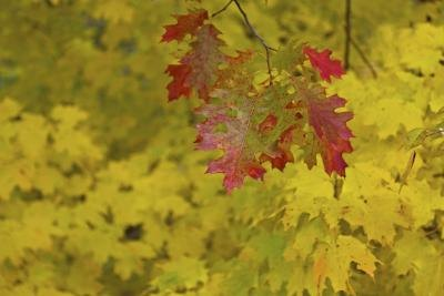 A cluster of red oak leaves dangling in front of yellow maple leaves in autumn.