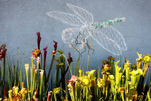 "A chicken wire sculpture ""hovering"" above a bog of Sarracenia pitcher plants."