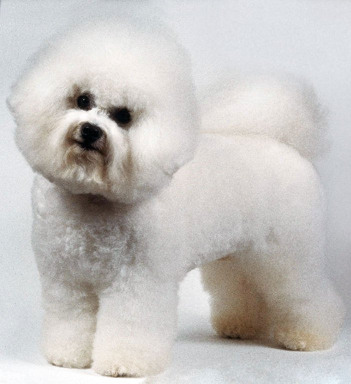How to breed bichon frise dogs ehow - Coupe pour bichon maltais ...