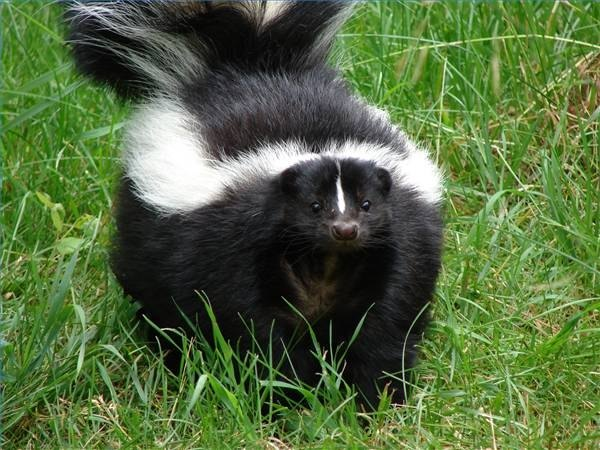 How Does Tomato Juice Help Get Rid of Skunk Smell?