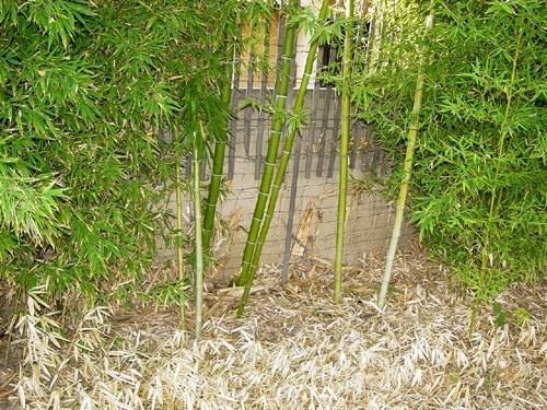 How To Grow Japanese Bamboo Plants Ehow