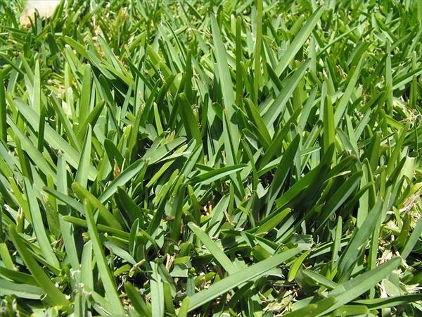 How often should you water st augustine grass ehow for How often should you mow your lawn