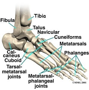 how many bones do we have in our foot? (with pictures) | ehow, Human Body