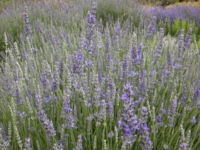 How To Prune Or Trim Lavender Plants Ehow