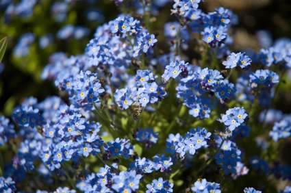 Many Wildflower Varieites Have Blue Flowers