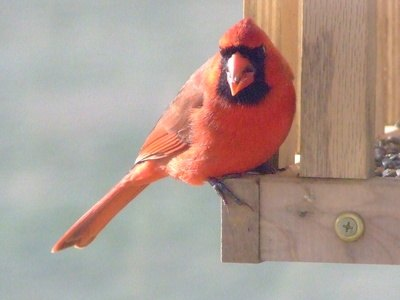 The cardinal is well-known for its coloring