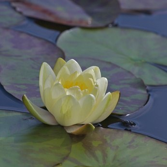 Water lilies thrive in a variety of habitats and can improve the quality of the habitat for wildlife.