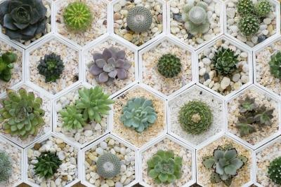 An overhead view of potted desert cactus plants.