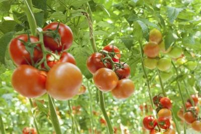 Select large tomato varieties for slicing, and smaller varieties for canning.