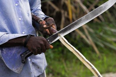 A man cuts a sugar cane stalk with a knife.