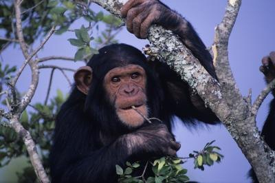 chimps rely on their habitat for food