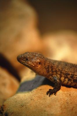 The western fence lizard is a member of the spiny lizard family.