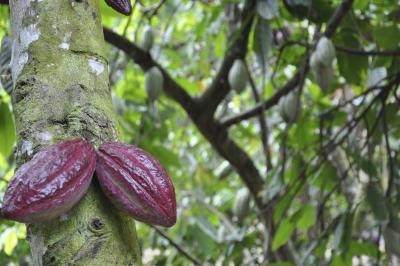 Cacao pods hanging from a cocoa tree.