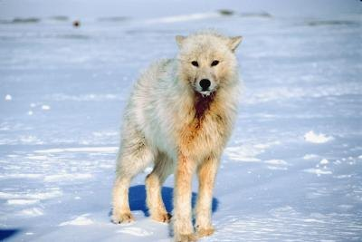 The arctic white wolf is perfectly adapted to life in the arctic circle.