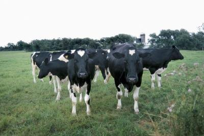 The milk from transgenic cows is currently being used in biomedical research.