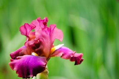 The iris is among the group of plants and flowers who benefit from pine mulch.
