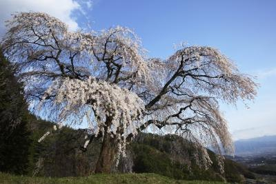 Weeping cherry trees produce white flowers.
