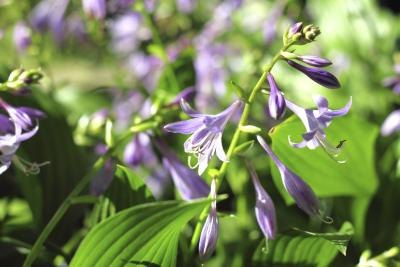 Hosta is available in a variety of colors.