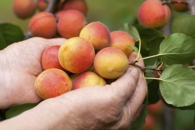 Peach farmer holding crop
