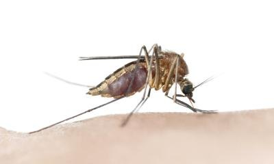 Close up of mosquito.
