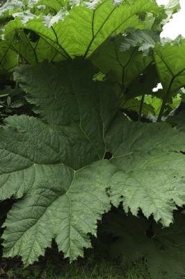 Large leaves absorb more light than small leaves.
