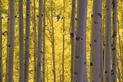 A grove of birch trees.