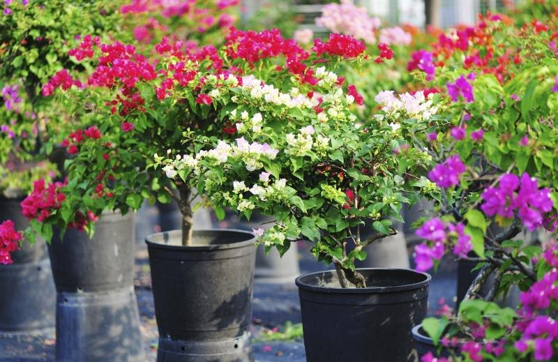 how to grow bougainvillea in pots ehow
