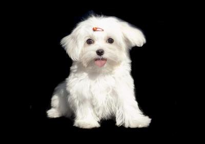 Even a large Maltese is still a small dog.