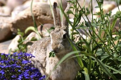 Image Result For What Flowers Keep Rabbits Out Of Gardens