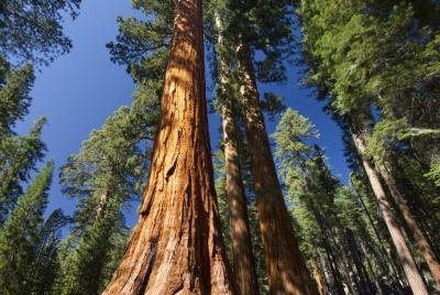 A giant sequoia tree in Yosemite National Park.