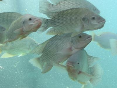 Tilapia can be grown in freshwater ponds.