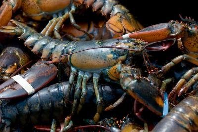 Live lobsters caught in Maine