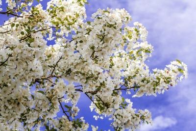 Branches of white crabapple tree