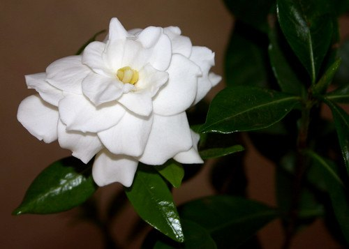 Gardenias can require full or partial sun.