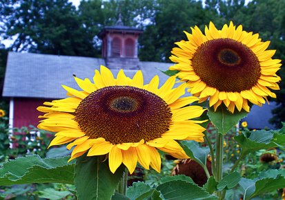 how to grow sunflower seeds