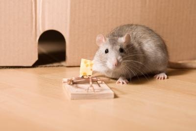 How Common is Rat Bite Fever in Pet Rats? - Pests Gone Now