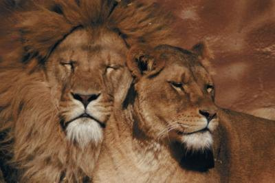 The competition between male lions for female attention is known as intraspecific competition.