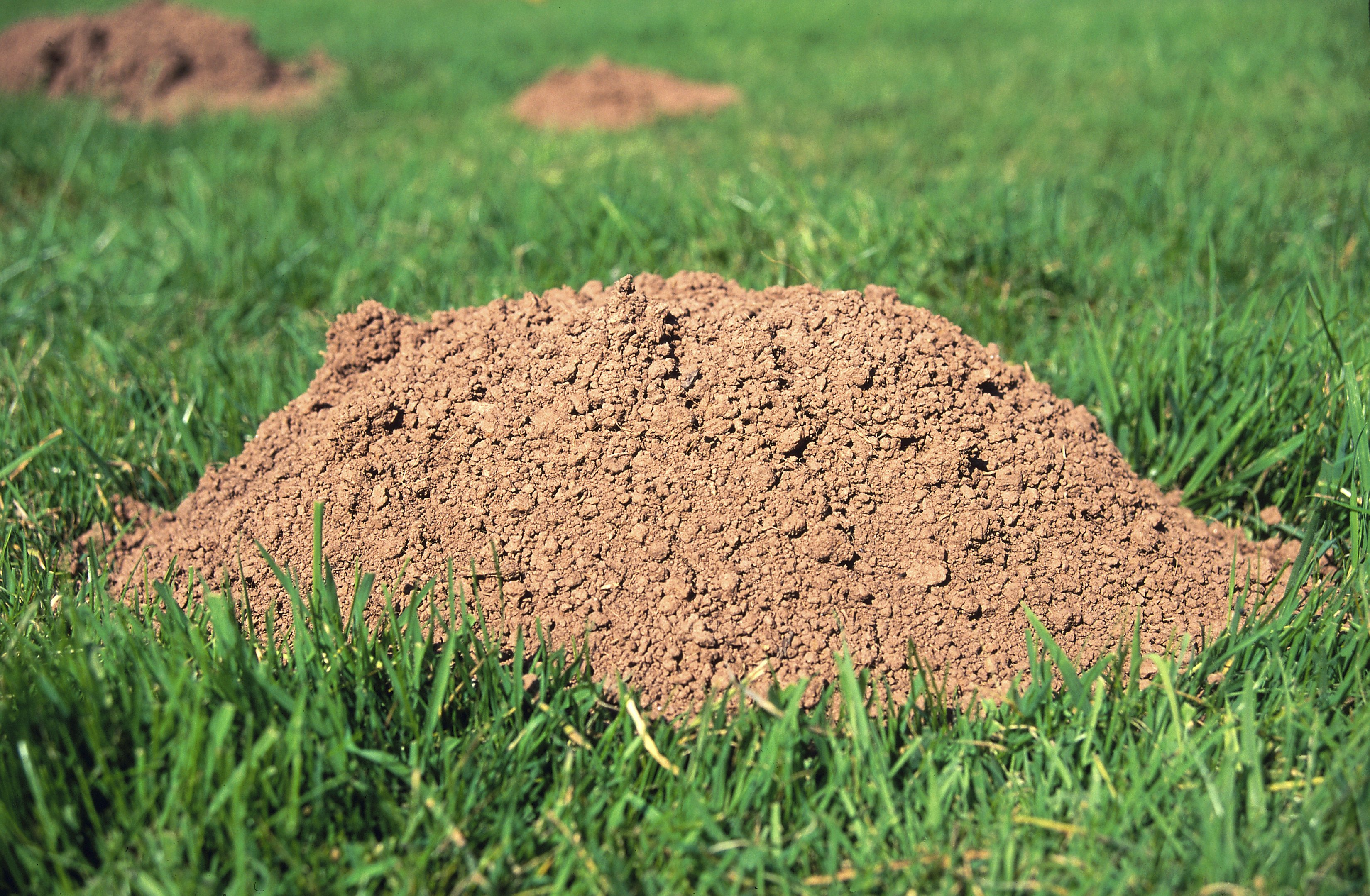 How to get rid of ground moles - How To Get Rid Of Ground Moles 27