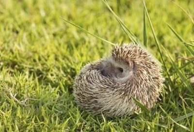 Information On Hedgehogs