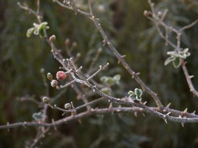Hawthorn Tree Thorns Hawthorn Tree Branch