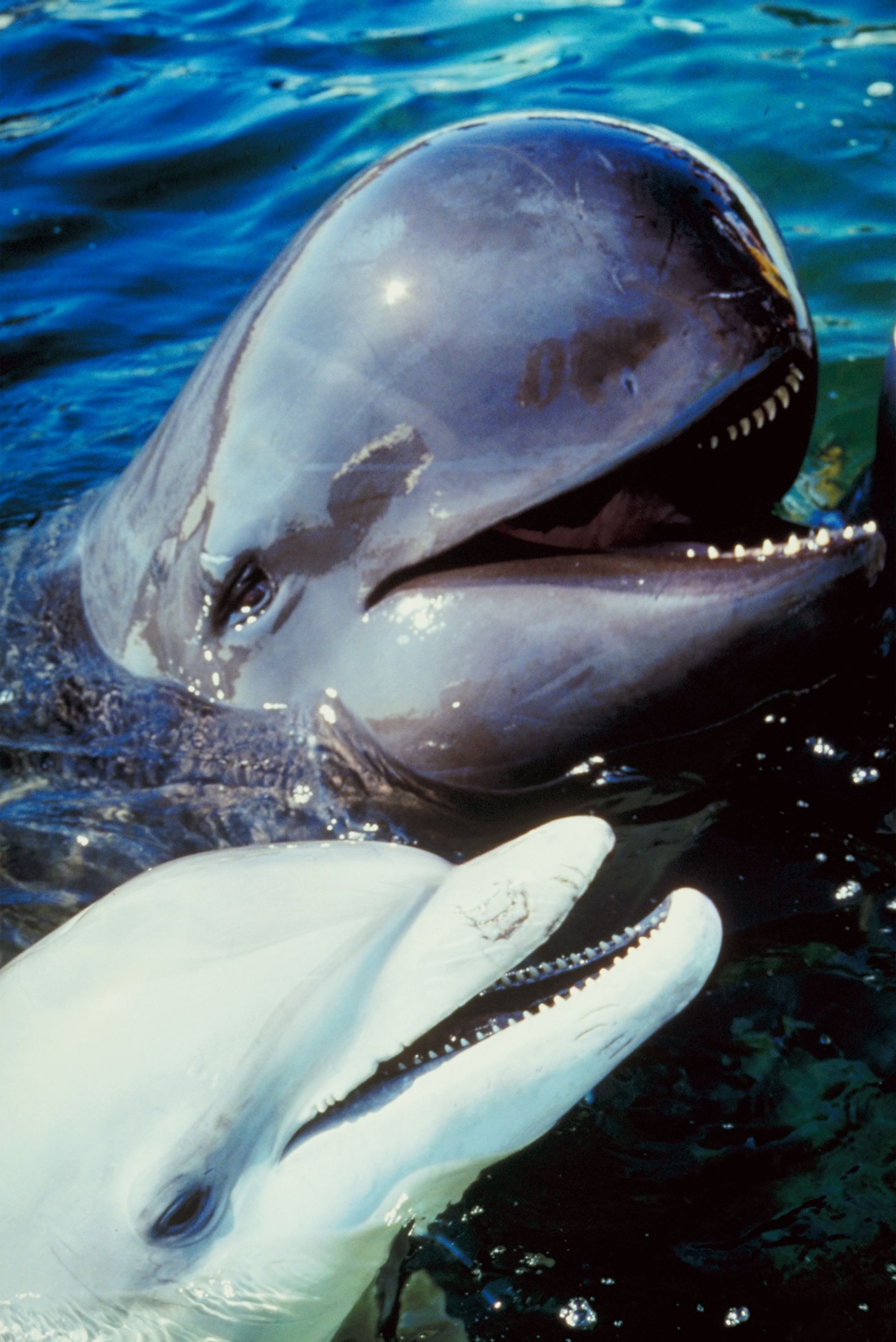 the characteristics of dolphins and porpoises mammals from the group cetacean Dolphins and porpoises ocean d  olphins ocean dolphins are members of the largest cetacean family guide to marine mammals of the world new york.