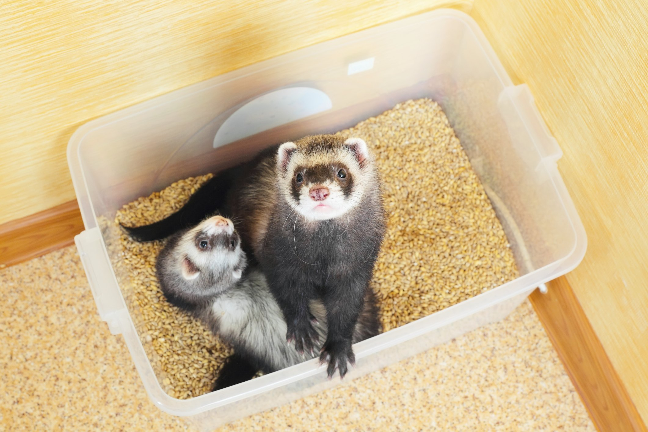 how to make ferret food
