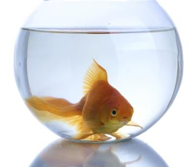 What kind of fish can live in a bowl ehow for Types of small fish