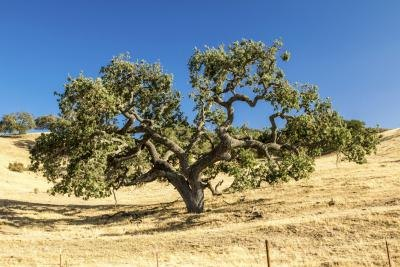 Life Cycle Of Oak Trees With Pictures Ehow