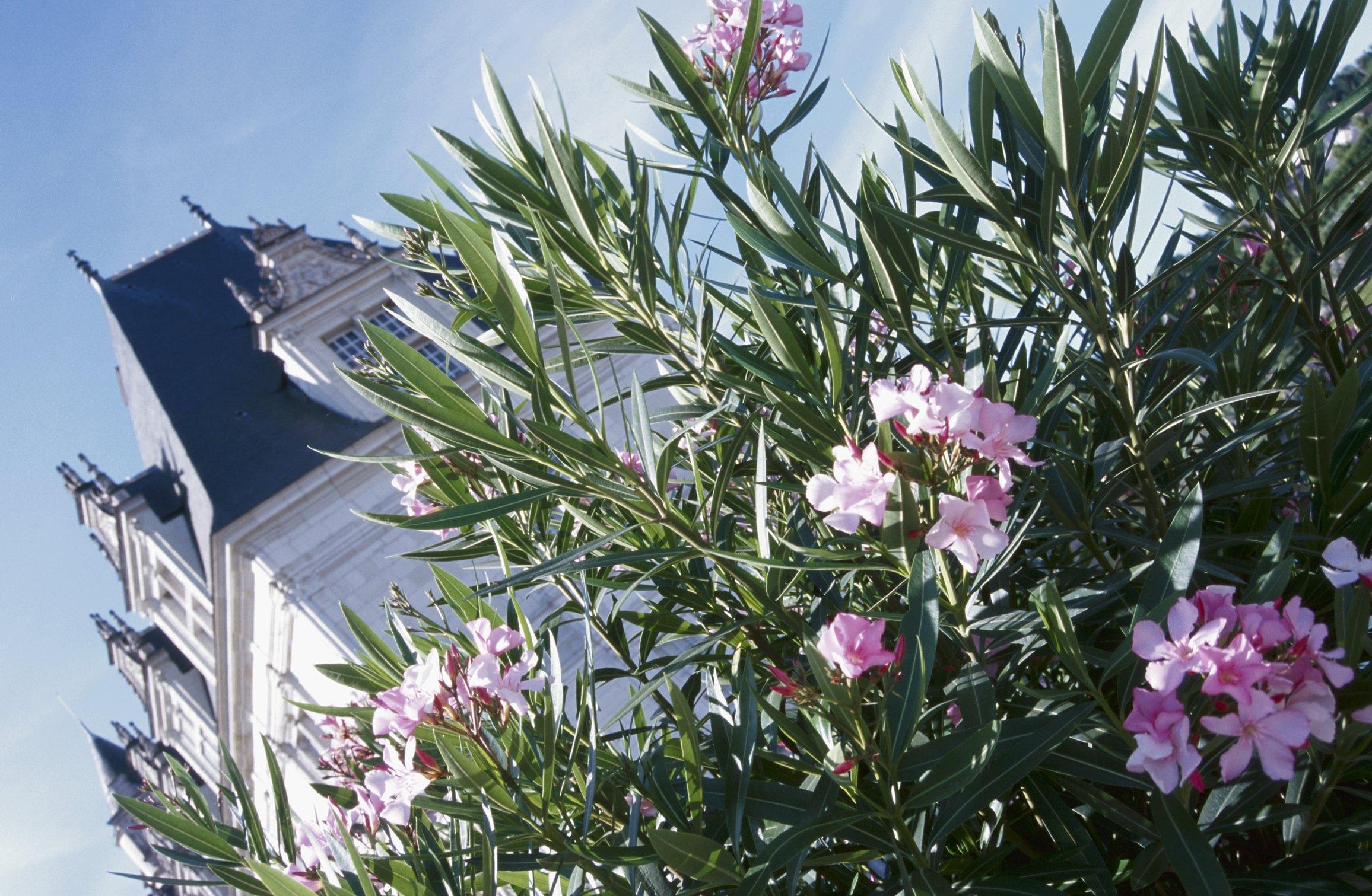 how to trim oleander after a frost ehow. Black Bedroom Furniture Sets. Home Design Ideas