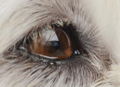 Crusty Eyes on Dogs Your Dog's Eyes Should be